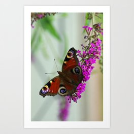 Peacock butterfly on a buddleia Art Print