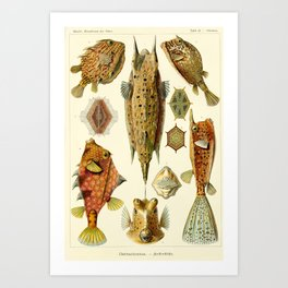 Ernst Haeckel - Kunstformen der Natur - Ostraciontes Plate Art Print