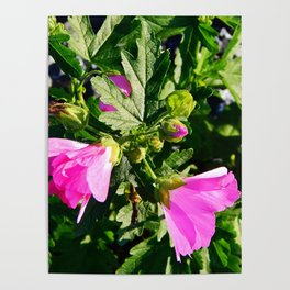 Pink Musk Mallow in September Poster