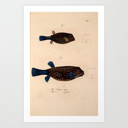 Vintage Print - Atlas of a Journey in North Africa (1828) - Yellow Boxfish; Bluetail Trunkfish Art Print