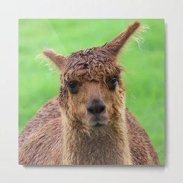 Curious Alpaca Metal Print