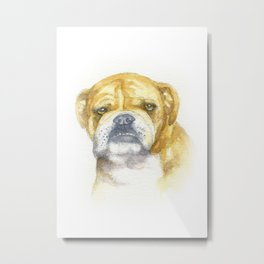 English Bulldog portrait Metal Print