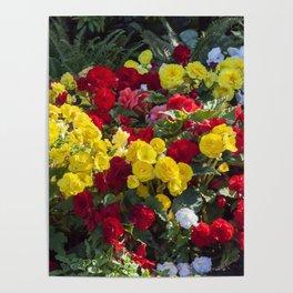 Begonias in Flower Poster