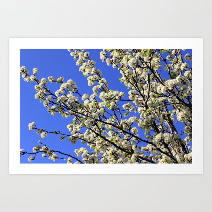 Blue Sky Pear Blossom Art Print