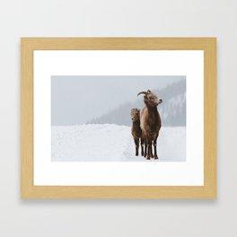 Mountain Sheep Framed Art Print
