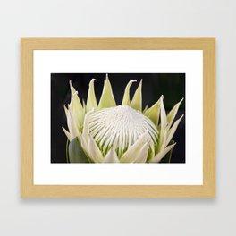 White King Protea Framed Art Print