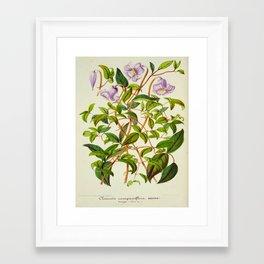 Clematis Campaniflora Vintage Botanical Floral Flower Plant Scientific Illustration Framed Art Print