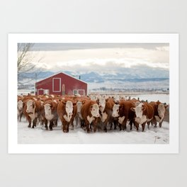 Cows: Hereford Traffic 2 Art Print