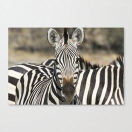 Curious Burchell's Zebra Canvas Print