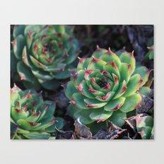 Sempervivum Succulents Canvas Print