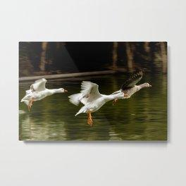 Landing of ducks on the lake of Palermo. Metal Print