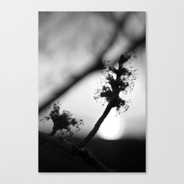 Spring Sunrise Black & White Canvas Print