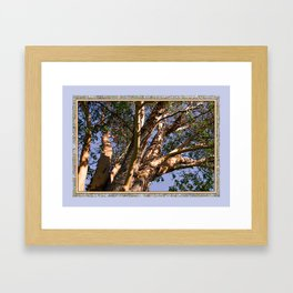 GREAT MADRONA TREE LOOKING SKYWARD Framed Art Print
