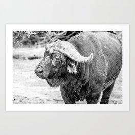 Dirty Buffalo Bull Art Print