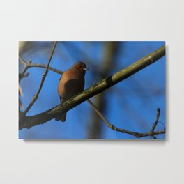 Chaffinch Donegal Ireland 22 Metal Print