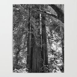 Muir Woods Study 3 Poster