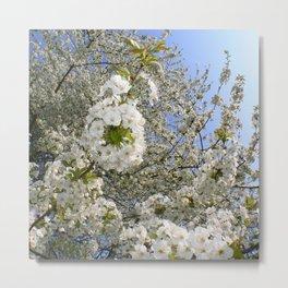 White Blossoms, Springtime Metal Print