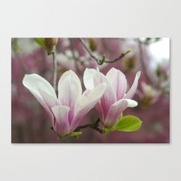 Pastel blossoms (Japanese magnolia) Canvas Print