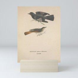 Vintage Illustration - Avium Novae (1825) - Crested Black Tyrant & Rusty-tailed Flycatcher Mini Art Print