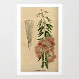 Flower calliandra brevipes6 Art Print