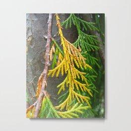 Alaska yellow-cedar Metal Print