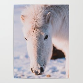 White Icelandic Horse in Snow Poster