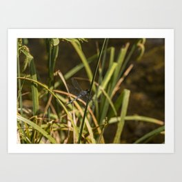 Dragonfly in the marsh Art Print