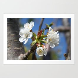 Cherry Blossom In Spring Sunlight Art Print