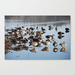 Ducks on the water.  Canvas Print