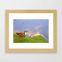 Duck Going for a Swim Framed Art Print