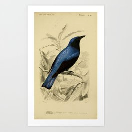 D'Orbigny - Universal Dictionary of Natural History; Birds (1849): 20 Drongo Art Print