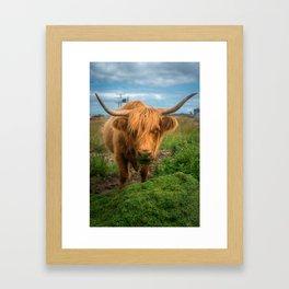Highland Cow Eating Grass, Isle of Mull, Scotland, UK Framed Art Print