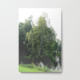 Large white birch on the shore of a reservoir with a dangling leaf crone Metal Print