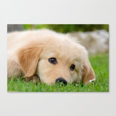 Golden Retriever puppy, cute dog Canvas Print