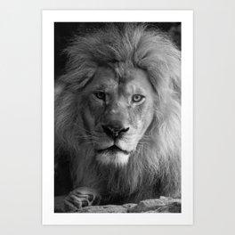 A Lion's Gaze Art Print