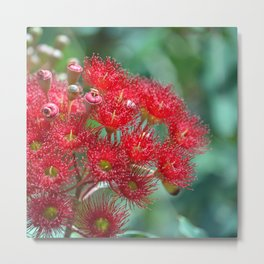 Red Flowering Gum Metal Print