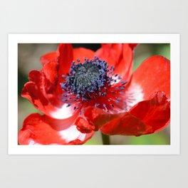 Red Anemone Flower  Art Print