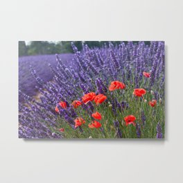 Poppies and Lavender Metal Print
