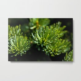 Abies Fraseri Metal Print