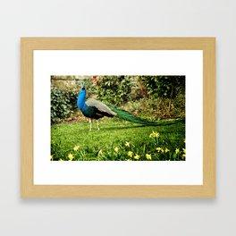 Chuck the Peacock Framed Art Print