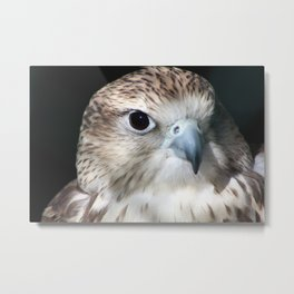 Saker Falcon 2 Metal Print