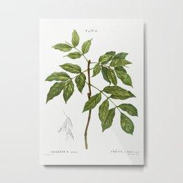 Manna ash, Fraxinus ornus from Traité des Arbres et Arbustes que l'on cultive en France en pleine te Metal Print