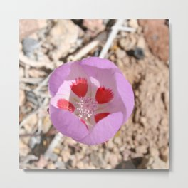 Pink Desert Five-Spot Wildflower Metal Print