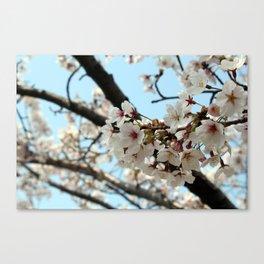 Jinhae Cherry Blossoms Canvas Print