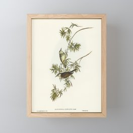Fasciated Honey-eater (Glyciphila fasciata) illustrated by Elizabeth Gould (1804-1841) for John Goul Framed Mini Art Print