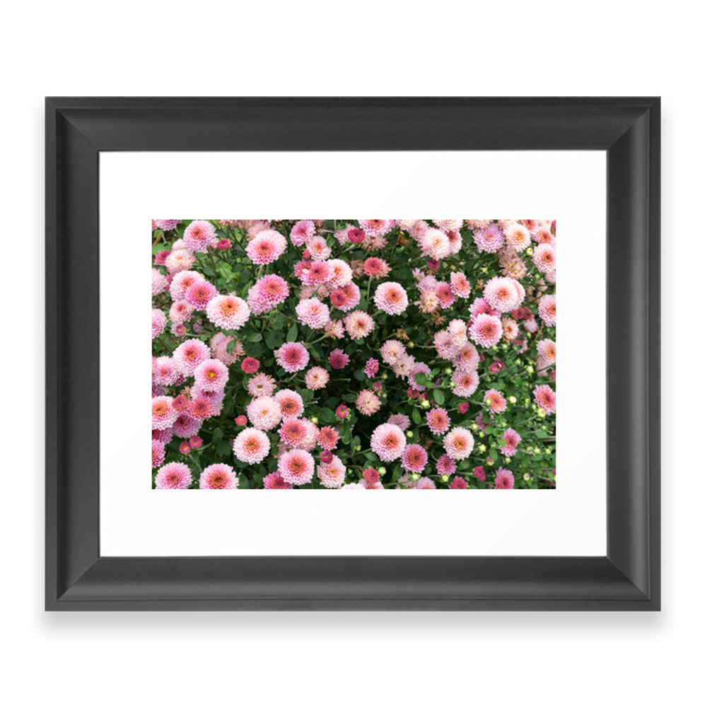 Beautiful Pink Flower Field, Shallow Depth Of Field. Natural Background With Pink Flowers, Pink Chry Framed Art Print by photonxt
