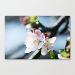 cherry blossoms 2 Canvas Print