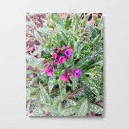Raspberry Splash Lungwort flowers Metal Print