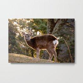 Sika deer at Nara Park Metal Print