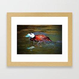 Whited Headed Duck Framed Art Print